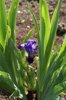 Iris de Croatie - Iris croatica