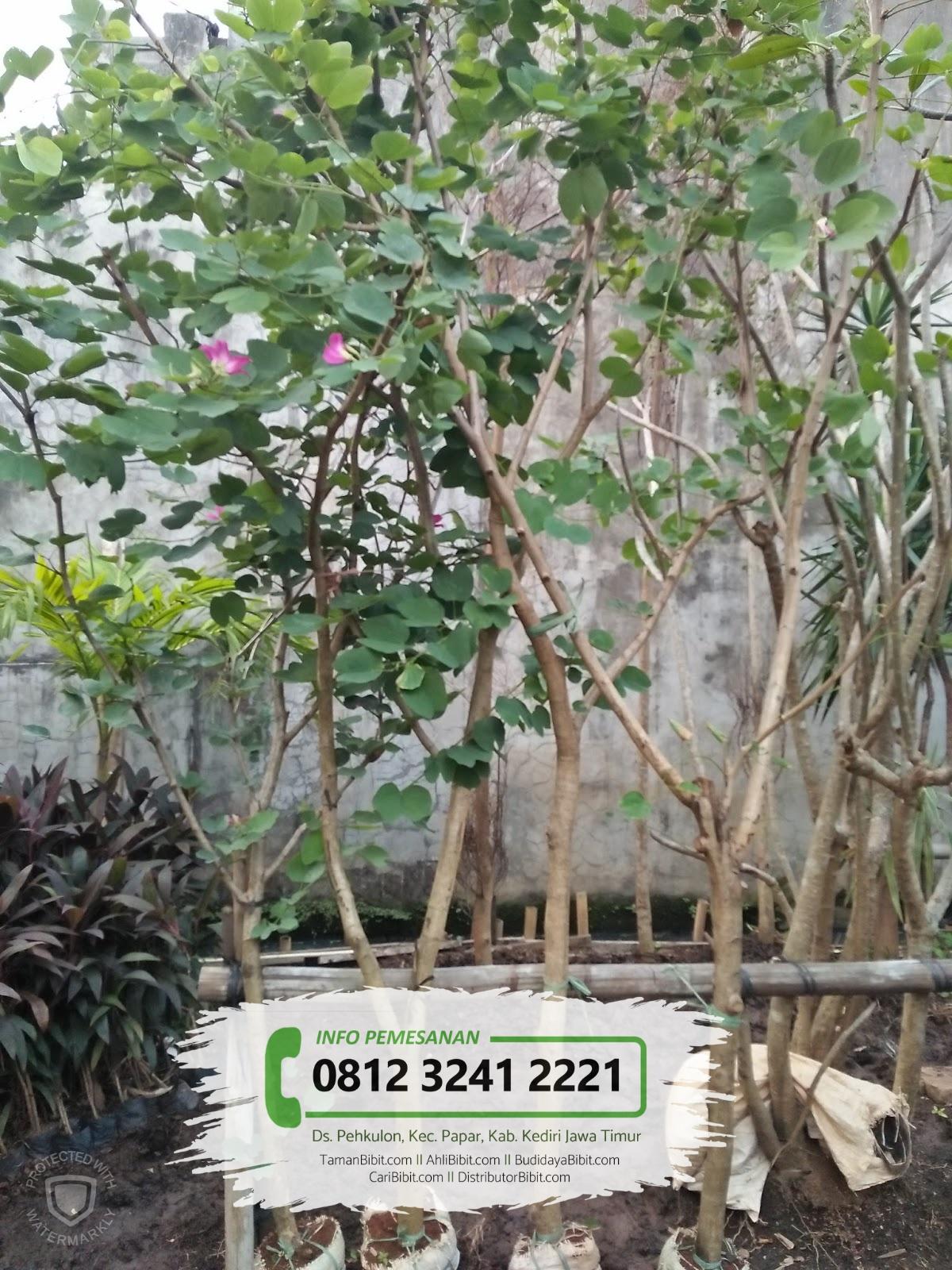 Jual pohon kupu-kupu berbagai ukuran | +628970670130