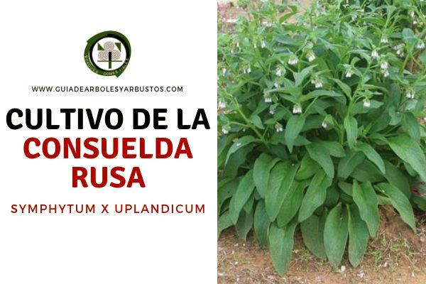 Para el Cultivo de la Consuelda Rusa, Symphytum x Uplandicum, se necesita