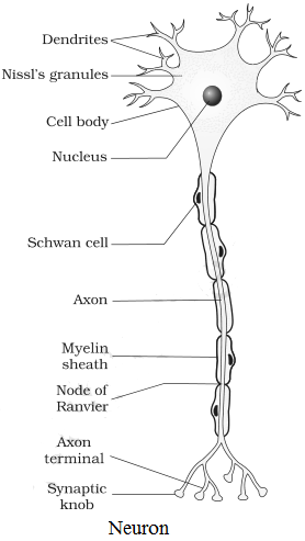 Diagram of neuron