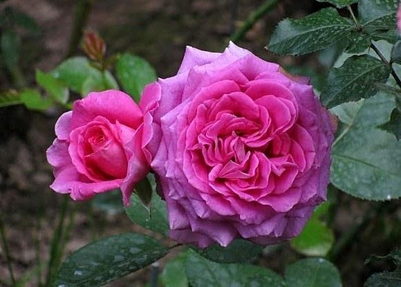 Claire Marshall сорт розы фото описание
