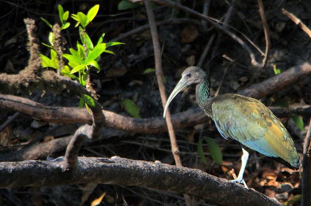 Coró-coró - Mesembrinibis cayennensis - Amazonia