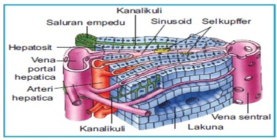 Struktur Hati Manusia Pustaka Pandani