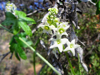 Wild cucumber (Marah macrocarpa) blossoms along Bailey Canyon Trail above Sierra Madre