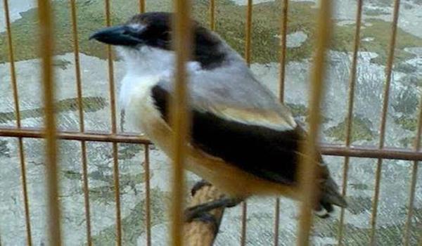 mengatasi burung cendet bondol ekor