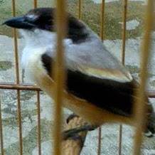 Cara Merawat Burung Cendet Yang Tidak Memiliki Ekor