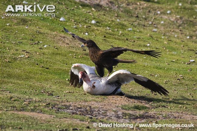 interactions between argentinian birds Striated caracra
