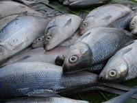 Tips Jitu Budidaya Ikan Bandeng Air Tawar