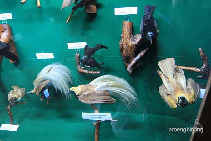 burung cendrawasih kuning besar museum zoologi bogor