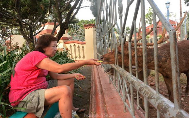 Ibu Ani memberi makan potongan kulit semangka pada seekor rusa