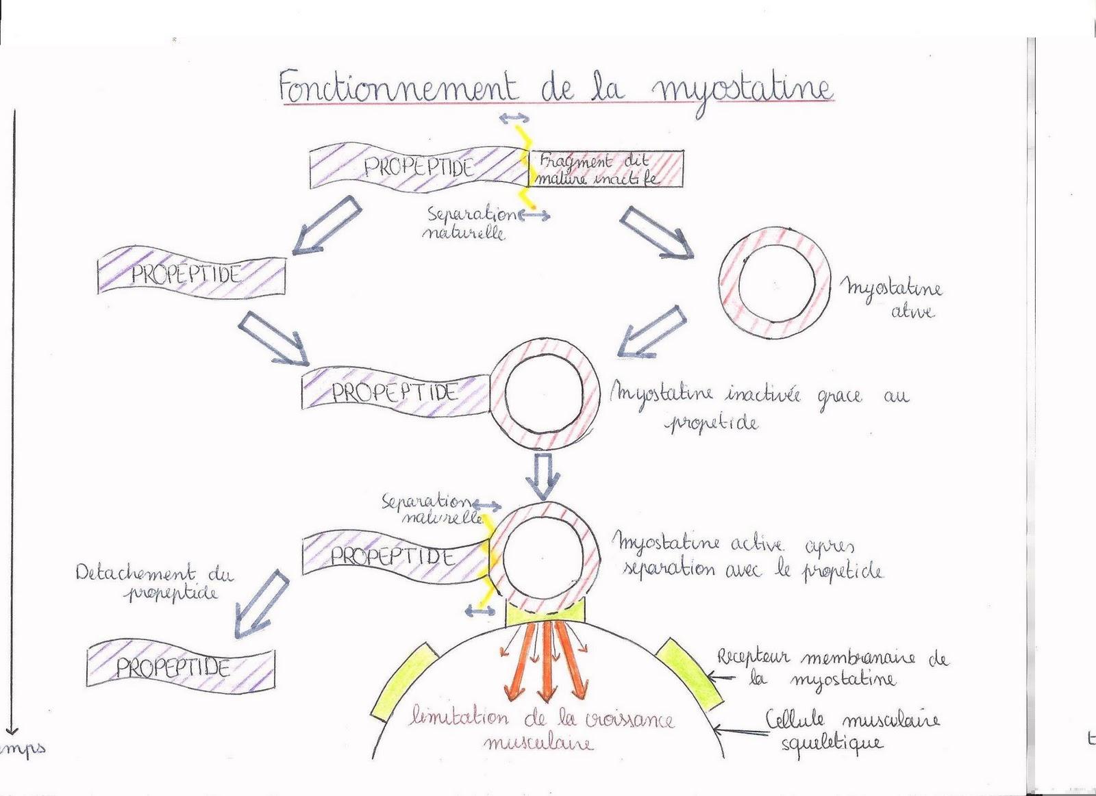 la myostatine et ses inhibiteurs - Descriptions - Forum ...
