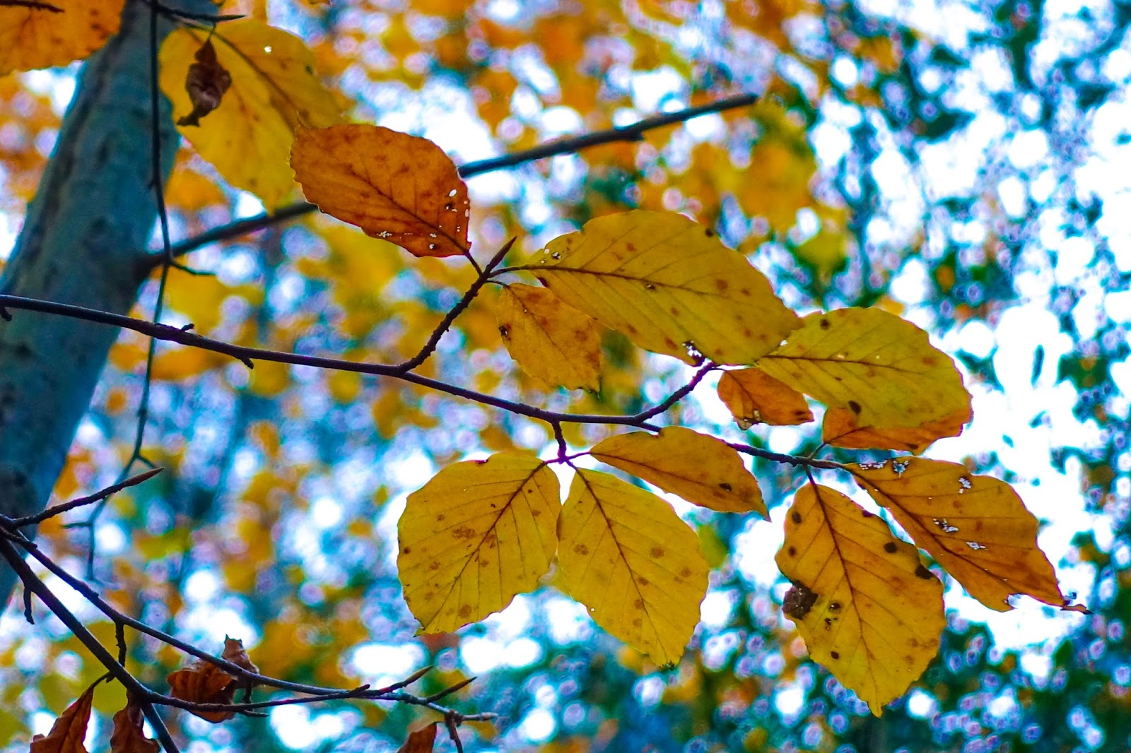 Some orangey yellow leaves on a tree with sky behind