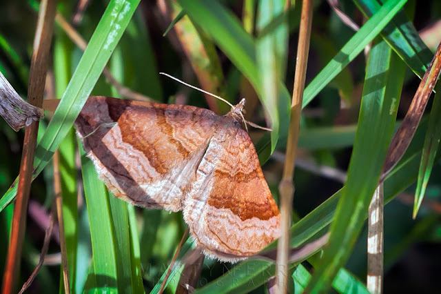 Close up image of a brown barred moth with wing patter detail