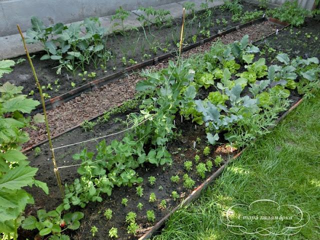 рассада, сад и огород, опыт огородничества, экологичный огород, натуральный огород