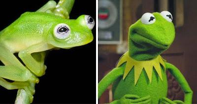La rana Rene y  fue inspirada  en esta pequeña ranita.