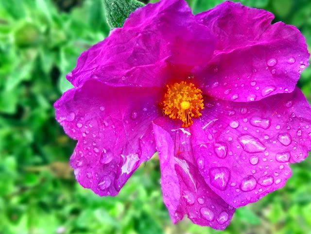 Water drops_flowers