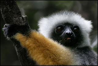 """A palavra lémure deriva do latim """"lemures"""", que significa """"espírito(s) da noite"""" ou """"fantasma(s)"""" e deve-se provavelmente ao facto de estas criaturas serem brancas e noctivagas, perambulando pela noite e fazendo os seus chamamentos."""