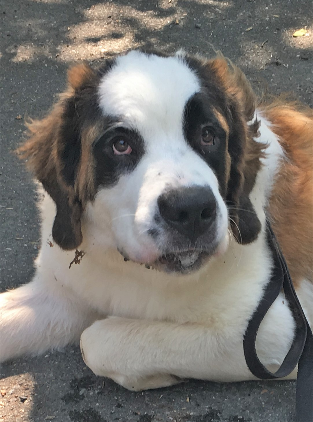 Her Name Is Nora And She S My Most Recent Green Dogs Foster About 8 9 Months Old Pure Bred Female Tri Color Saint Bernard