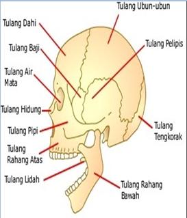Bagian Rangka Tubuh Manusia dan Fungsinya Jenis, Fungsi, dan Bagian Rangka Tubuh Manusia