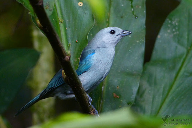 Blue-gray Tanager - Thraupis episcopus