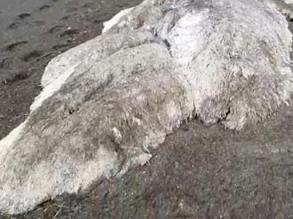 Encuentran Monstruo Marino en Kamchatka Rusia