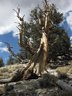 Ancient Bristlecone Pine Tree near Schulman Visitor Center, Ancient Bristlecone Pine Forest, Eastern Sierras, California