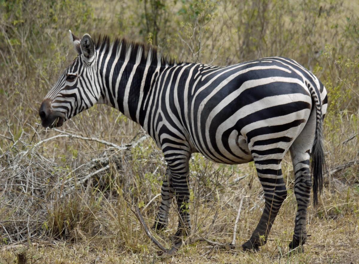 Contoh Studi Kasus Pengelolaan Satwa Liar Zebra Dataran Equus