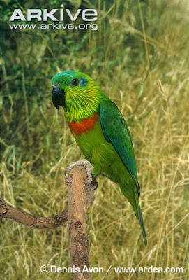 Lorito de Salvadori: Psittaculirostris salvadorii