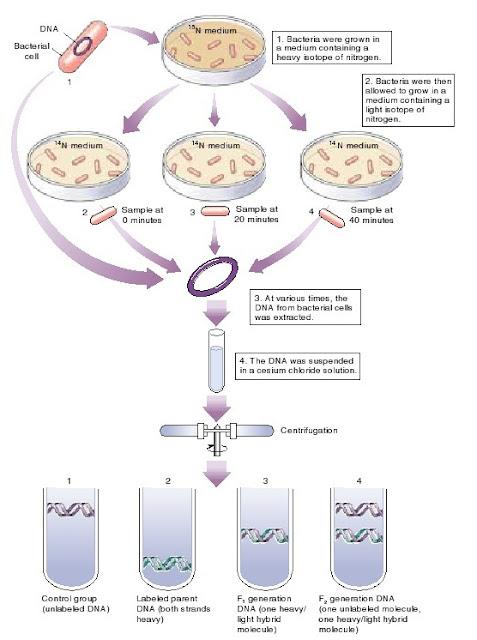 Repikasi DNA, replikasi DNA secara semikonservatif, semi konservatif
