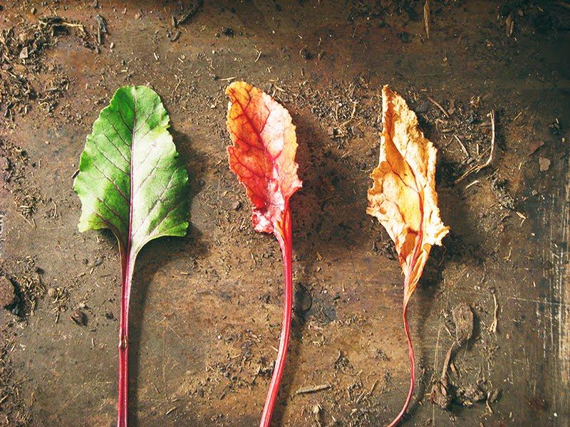 Tzatziki a la betterave recettes bio et fait maison le - Comment cuisiner les feuilles de betterave rouge ...