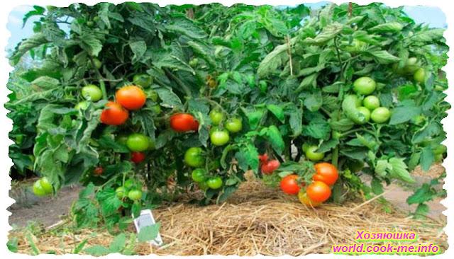 Мульчируем помидоры земляникой