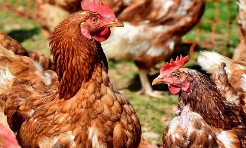 Cara Sukses Ternak Ayam Joper