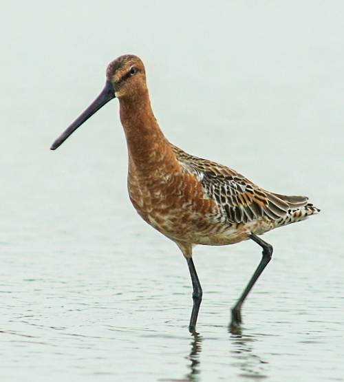 Indian birds - Picture of Asian dowitcher - Limnodromus semipalmatus