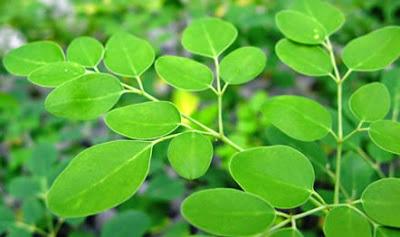 Propiedades del árbol Moringa