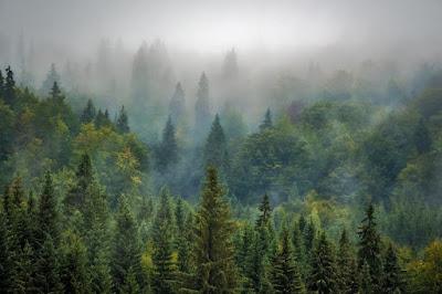 Forêt d'arbres pin