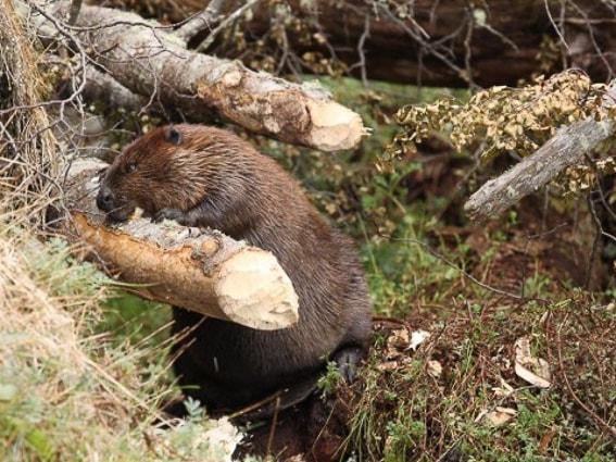 Los castores de Ushuaia. Una plaga en la tierra de fuego