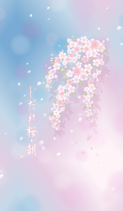 Weeping cherry blossoms morning