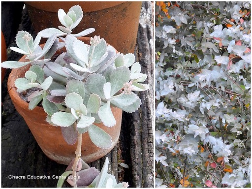 Crasa / Eucaliptus plateado - Chacra Educativa Santa Lucía