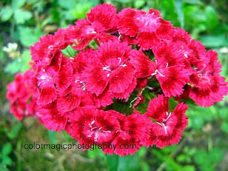 Sweet William - red white Dianthus Barbatus picture