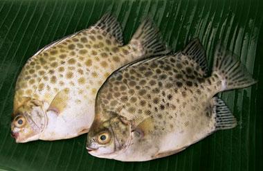 Cá Nâu Chiên - Hấp - Nướng