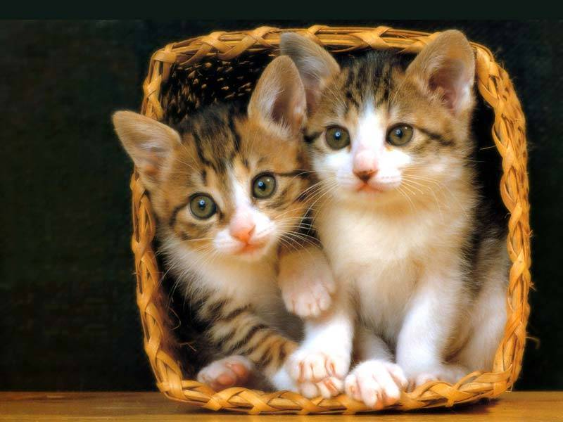 Beautiful Cats in Basket