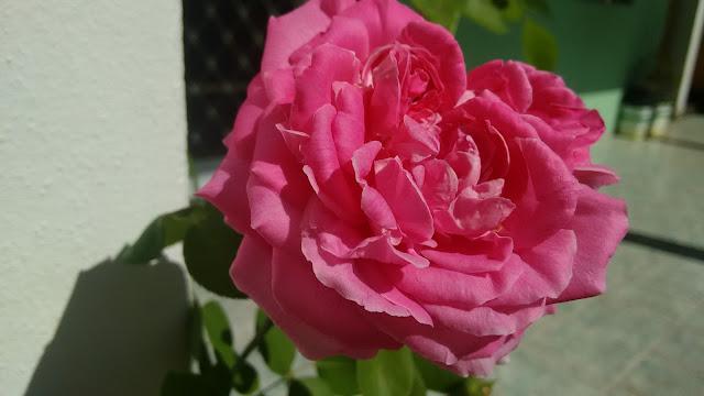 Uma Rosa Se Abriu