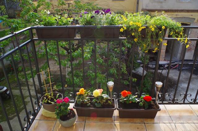 kwiaty na balkonie po posadzeniu, wiciokrzew, uczep rózgowaty, begonie, surfinie
