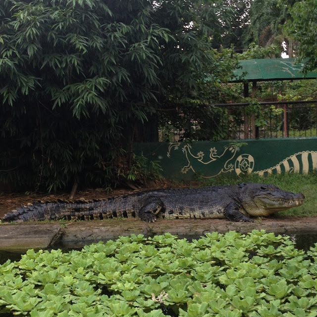 The largest crocodile at Crocolandia Park