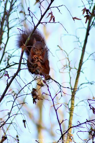Écureuil roux, (Sciurus vulgaris), 77