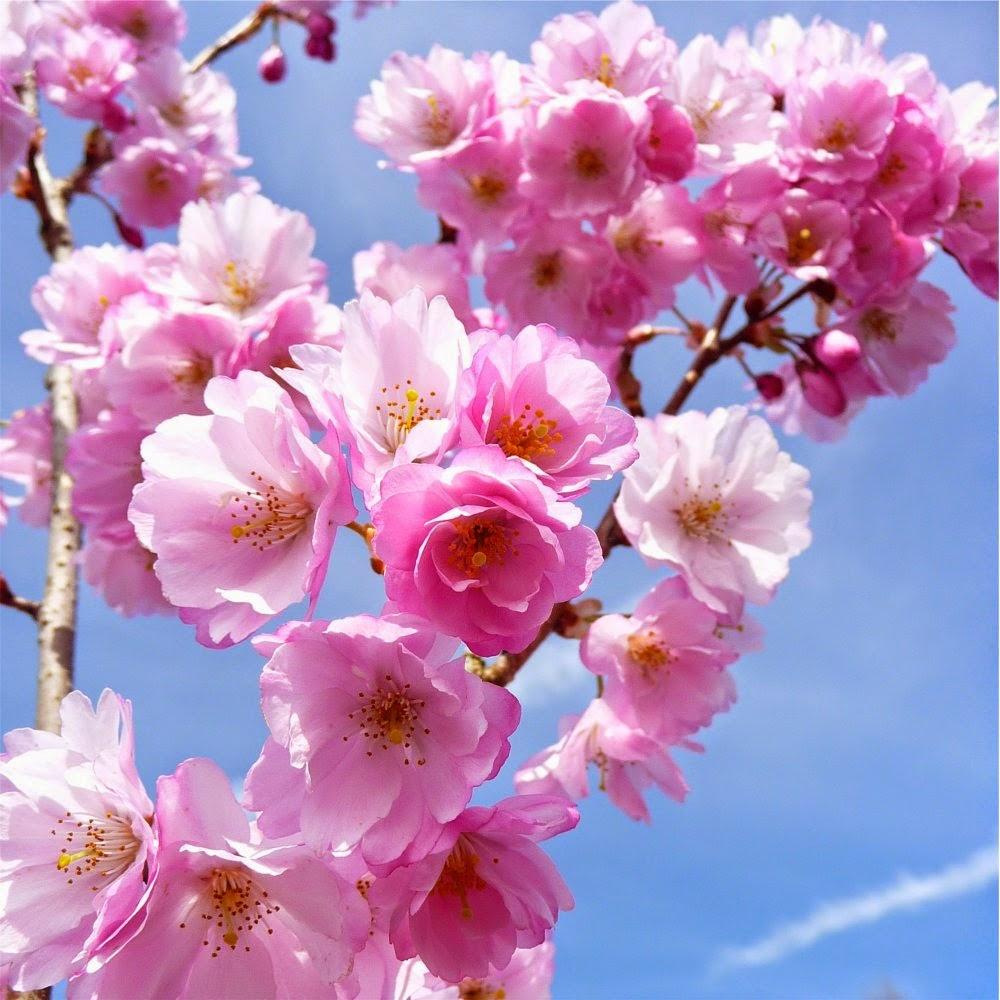 20 Gambar Bunga Sakura Jepang Tercantik Terindah Foto Gambar Terbaru