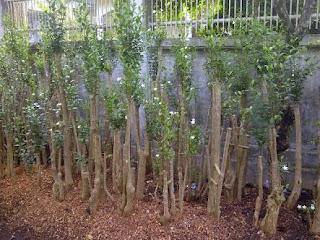 Tukang taman penjual pohon bonsai melati yasmin bunga putih kecil harga paling murah