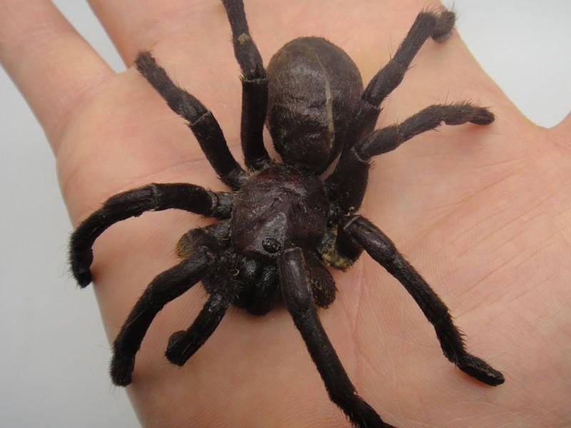 menumbuhkan jambang dengan minyak tarantula