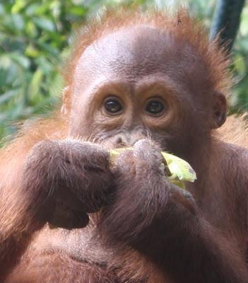 Orangutan mangia una banana al centro di Sepilok