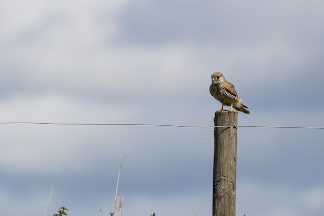 Perched Kestrel